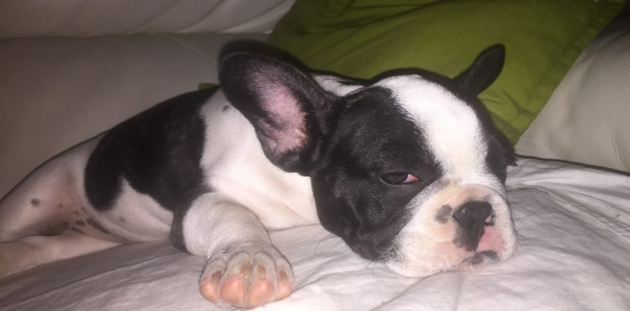 Sonno del Bulldog Francese dormono molte ore al giorno