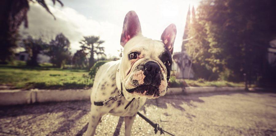 Allergie e intolleranze del Bulldog Francese