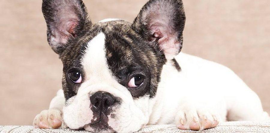 Giardia nel Bulldog Francese sintomi, causa e curarla.