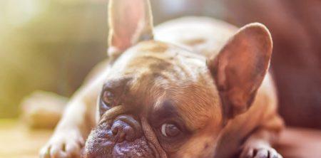 Come educare il nostro Bulldog Francese
