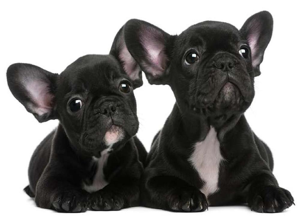 Allevamento bulldog francese come addestrare il piccolo for Piccolo in francese