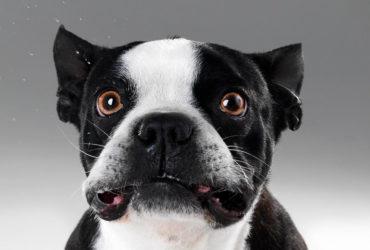 Regole come addestrare un bulldog francese
