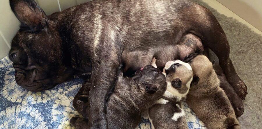 La Riproduzione del bulldog Francese