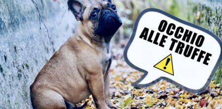Bulldog Francese : Come evitare le truffe!