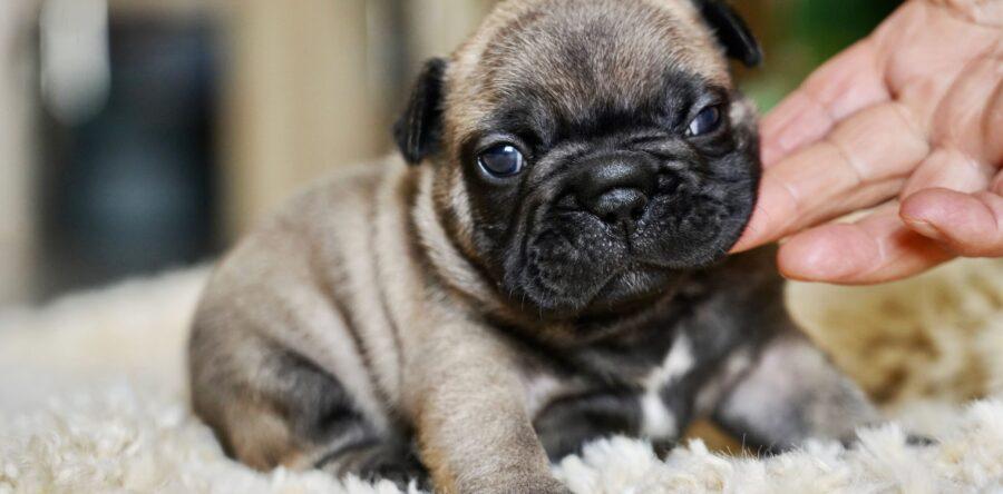 Bulldog Francese sei pronto a prenderne uno?